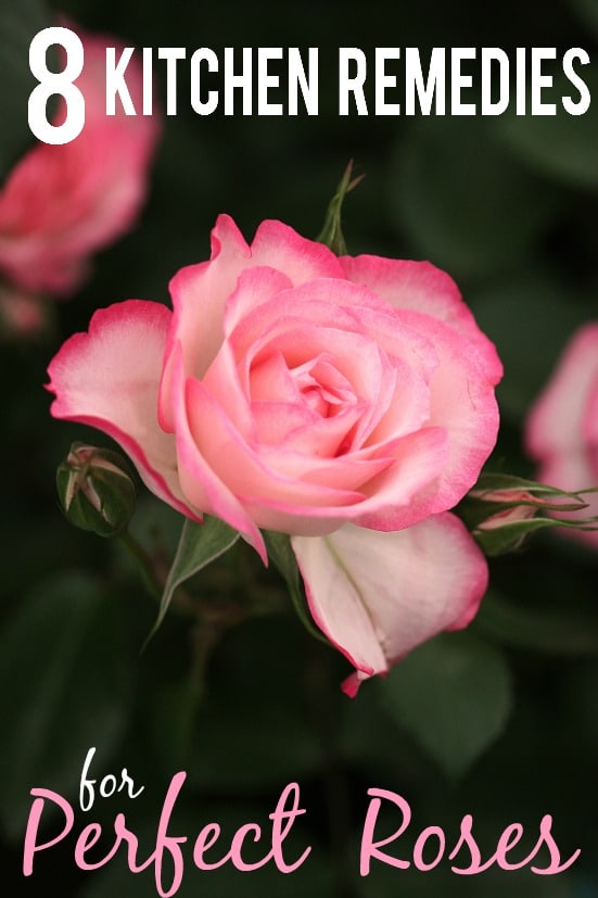 8 Kitchen Remedies for Perfect Roses -Get perfect, beautiful rose blooms with simple fixes right in your kitchen with these 8 kitchen remedies for perfect roses. Great gardening tips for roses!