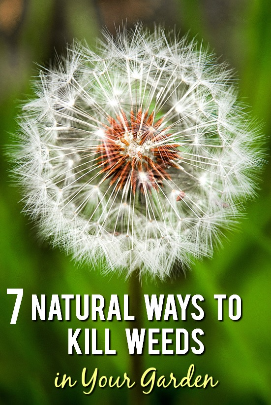 7 Natural Ways to Kill Weeds in your Garden - Weeds can be a huge pain, but not if you're armed with simple tips to get rid of them. Use these 7 simple natural ways to kill weeds in your garden to keep it looking nice all Summer long. Gardening tips