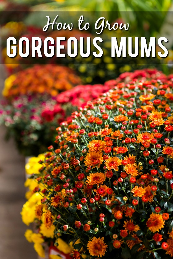 How to Grow Gorgeous Mums - Make sure your mums are the prettiest around and send you into the cold winter months with one more breath of flowering beauty with these 7 Tips to Grow Gorgeous Mums. Fall gardening tips