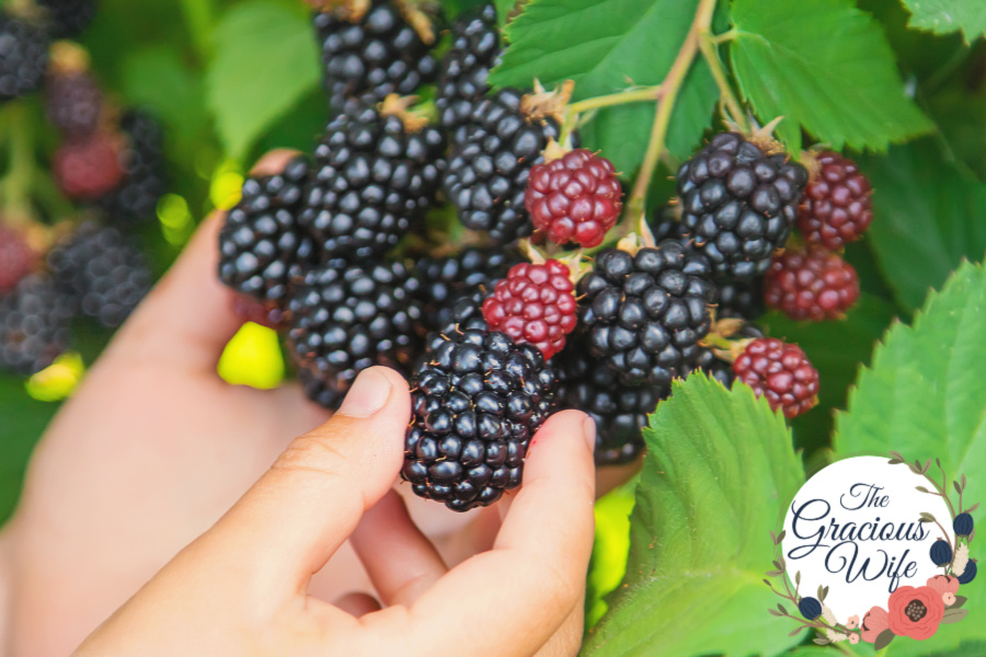 A child's hand picking blackberries from a bush