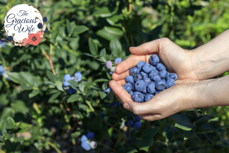 Two hands holding a scoop of blueberries in front of a blueberry bush