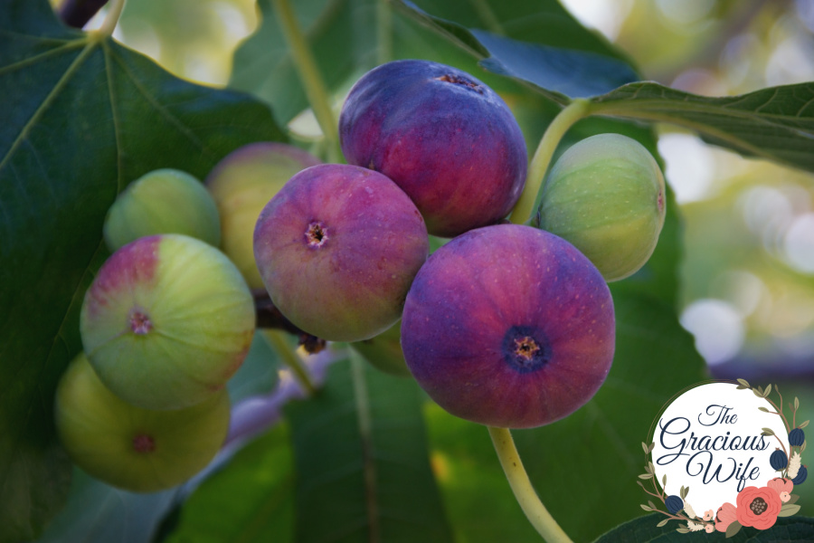 Branch of  fig tree with colorful fruits  in various stages of ripening