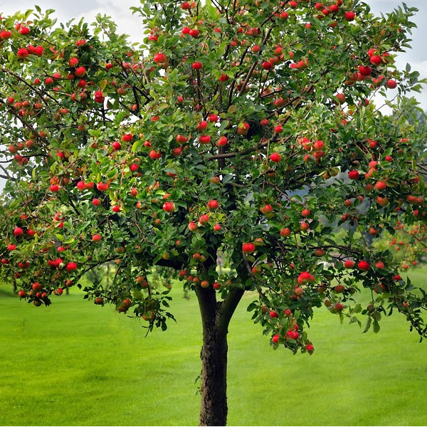Apple tree with apples on it.