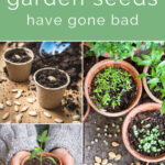 "Collage with the words ""how to tell if your garden seeds have gone bad"" on top, with clay pots and seeds with sprouts on the bottom."